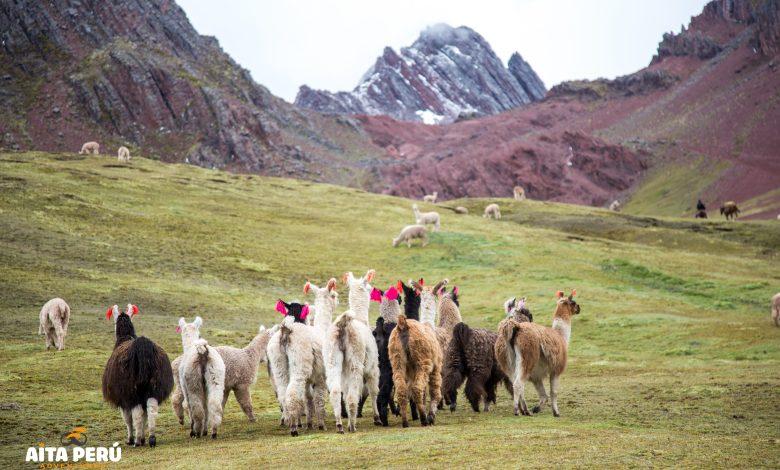 llamas-trek-valle-rojo