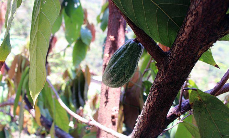 cacao-jungle-inca-trail
